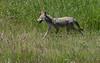 Coyote (shesnuckinfuts) Tags: coyote canislatrans ridgefieldwildliferefuge ridgefieldwa shesnuckinfuts june2018 nature wildlife