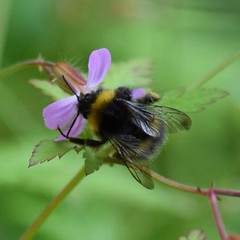 Bee 🐝 (Sandyslifethroughalens) Tags: bee nature naturephotography wildlifephotography wildlife mygarden flower actionshot wings wales