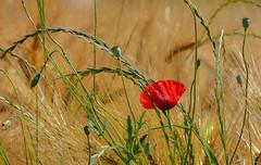 Le coquelicot (Diegojack) Tags: tolochenaz vaud suisse d7200 blés dorés fleurs coquelicots rouge nature printemps fabuleuse