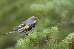 Audubon's Yellow-rumped Warbler (Amy Hudechek Photography) Tags: red audubon yellowrumped warbler colorado summer breeding colors amyhudechek nikond500 nikon600mmf4