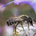 Megachile ericetorum m 180616 132.jpg