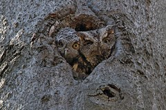 Eastern Screech Owls (kevinwg) Tags: tree nature eastern screech owls owl easternscreechowl owlet