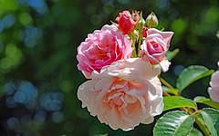 Rosa, Rosa, Rosam ... (Ciceruacchio) Tags: vie life vita rose rosa fleur fiore flower tango collège rêve piège dream sogno trap trappola jacquesbrel nikond750