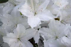 White Azaleas (RockN) Tags: azaleas white may2018 maryannstaogarden worcester massachusetts newengland
