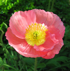 """Poppy"" by My Lovely Wife (Puzzler4879) Tags: poppies poppy flowers flowercloseups flowerscloseup close up a580 canona580 powershot powershota580 canonpowershota580 canonaseries canonpointandshoot pointandshoot canonphotography pink salmoncoloredflowers pinkflowers brooklynbotanicgarden botanicgardens"