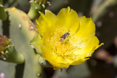 Prickly Pear Flower with Pollinator (Stuart Borrett) Tags: bee desert ecology flower nature opuntia pollination elpaso texas usa pricklypear yellow
