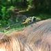 for fun:  Blackwater clubtail on my head