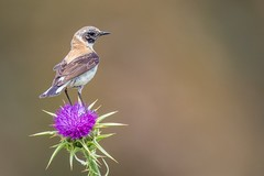 Black-eared Wheatear (Phil Gower Bird Photography) Tags: northern wheatear migration bird passerine