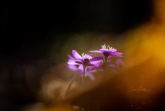 Sign of Spring (CecilieSonstebyPhotography) Tags: bokeh spring bygdøy flowers closeup flower ef100mmf28lmacroisusm outdoor canon light purple markiii oslo anemone anemonehepatica woods forest canon5dmarkiii stem stems sunlight petal macro petals april
