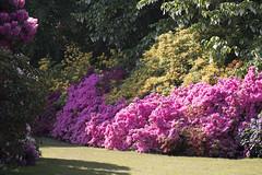 London (richard.mcmanus.) Tags: london kenwood gardens flowers rhododendrons azaleas mcmanus england uk landscape nature