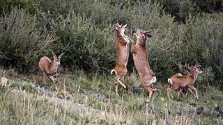 Bachelor Herd Pugilists:  Mule Deer Bucks