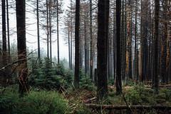 Waldsicht (Gruenewiese86) Tags: harz hütte hüttenübernachtung wald wälder wandern wa waldlandschaft waldlandschaften waldboden nebel nature nadelwald nadelholz germany deutschland holz baum gras