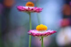 Strawflower (saeah_lee) Tags: asia botanical botanicalgardens canon100mm flower flowerdome flowers gardens gardensbythebay goldeneverlasting kenkoextensiontubes macro nature plant singapore strawflower
