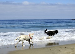 """Teaching Timber"" by Benni Girl (Bennilover) Tags: beach lagunabeach california dog dogs labrador retriever labradoodle timber benni zoomies sand waves training 52weeksfordogs zooming"