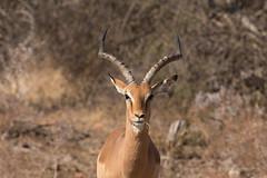 2015 07 05 aepyceros melampus@skukuza-4083 (- Stefano Benedetto -) Tags: aepycerosmelampus kruger southafrica safari impala