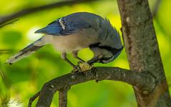 Nut Cracker (Keztik) Tags: geaibleu bluejay cyanocittacristata blue bleu jay geai bird oiseau animal wildlife nature nikon d7500