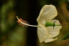 Nikon  special  toy camera effects!! (SHAN DUTTA) Tags: backofflower nikon hibiscus white whiteflower nikkor 7030mmnikkor garden 2018 fantasticflower