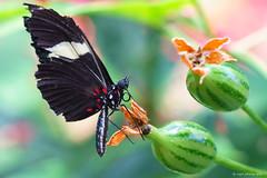 Doris Longwing (dpsager) Tags: butterflies butterfly chicago dpsagerphotography judyistockbutterflyhaven metabones peggynotebaertnaturemuseum dorislongwing 1025fav