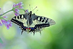 Magic of butterflies (sylviafurrer) Tags: schmetterling swallowtail papiliomachaon garten garden insekt insect bokeh coth coth5 specanimal specanimalphotooftheday ngc