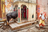 Une vache religieuse.?...Varanasi..India (geolis06) Tags: india inde asie asia benares varanasi uttarpradesh vache cow street rue road geolis06 olympus olympuspenf banaras