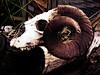 Wham Bam Thank You Ram (Steve Taylor (Photography)) Tags: ram skull animal digitalart fence brown green white eerie spooky scary wood newzealand nz southisland canterbury christchurch log willowbankwildlifereserve hor teeth