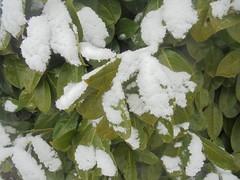 776 (en-ri) Tags: foglie leaves sony sonysti inverno winter cold freddo bianco verde bush cespuglio