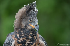 Crowned Eagle (Mitch Vanbeekum Photography) Tags: crownedeagle stephanoaetuscoronatus crownedhawkeagle african brewster ny newyork green mitchvanbeekum mitchvanbeekumcom greenchimney canoneos1dx canon100400mm