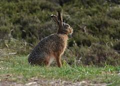 Hare (EvenHarbo) Tags: nikond7100 nikon danmark hare animal nature denmark hvidesande jylland jutland