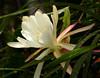 Epiphyllum Unknown [Raybin #1] (nolehace) Tags: spring nolehace sanfrancisco fz1000 518 flower bloom plant epiphyllum unknown raybin 1