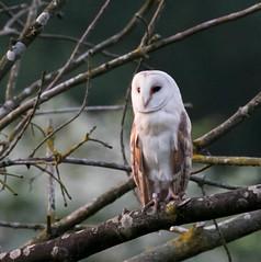 Barn Owl at Dusk (2) (magpie280168) Tags: barnowl norfolk