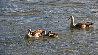 IMGP3446 Egyptian Goose Family
