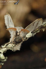 Pale Tussock (Calliteara pudibunda) (gcampbellphoto) Tags: pale tussock calliteara pudibunda moth insect macro nature wildlife gcampbellphoto ireland