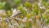 LR7-PGH58106 (JB89100) Tags: 2018 insectes lepoetlaval pbvf papillons ou quoi