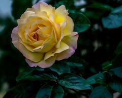 Charisma (tuvidaloca) Tags: study dof primerplano vistadecerca studie closeup rose bokehextreme estudio desenfoque bokeh desenfoqueparcial rosa nahaufnahme