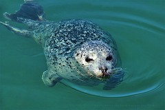 Sweet Hungry Visitor (Konny :-))) Tags: seal seerobbe foche phoque focha