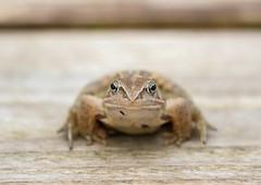 Moor frog portrait (Jaedde & Sis) Tags: spidssnudetfrø moorfrog frog amphibian ranaarvalis portrait dof monotone challengeyouwinner 15challengeswinner friendlychallenges perpertualwinner storybookwinner
