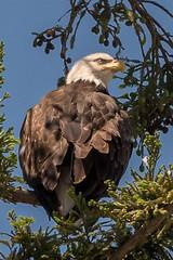 Mama Bald Eagle (MelRoseJ) Tags: milpitas california unitedstates us birds nature baldeagle