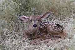 Newborn Mule Deer Fawn (fethers1) Tags: rockymountainarsenalnwr rmanwr rmanwrwildlife coloradowildlife deer muledeer muledeerfawn