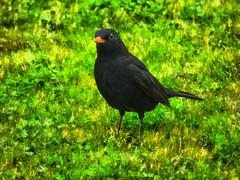 The Blackbird Waiting For the Rain (Steve Taylor (Photography)) Tags: blackbird bird digitalart garden black green orange yellow newzealand nz southisland canterbury christchurch northnewbrighton grass spring