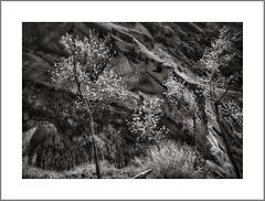 Zion National Park, UT (Vincent Galassi) Tags: lasvegas nevada usa zionnationalpark ut landscape black white park zion