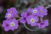 Malcolmia littorea (dnieper) Tags: flores silvestres malcolmialittorea laalbufera valencia spain españa