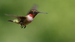 Ruby-throated hummingbird male (Lynn Tweedie) Tags: tail bokeh male colorful beak feathers eos animal bird missouri rubythroatedhummingbird green eye canon ngc ef400mm56lusm
