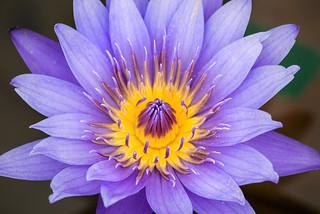 Stunning Water Lily 3-0 F LR 6-13-18 J159