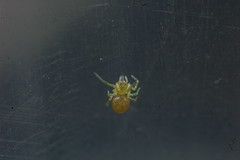 Nigma walckenaeri spiderling - newborn overnight 005 (Procrustes2007) Tags: spider nigmawalckenaerispiderlingnewbornovernight spiderling nigmawalckenaeri arachnid nikond50 nikkor50mmais vivitarextensionrings68mmtotal tamron2xteleconverter flash greatcornard suffolk uk britain england
