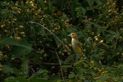 20180610-IMGP5255 (JerrysPhotographs) Tags: arkansas bird bunting indigobunting wildlife