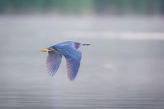 Pan Dulce (gseloff) Tags: greenheron bird flight bif pan panning water bayou nature animal wildlife armandbayou pasadena texas kayak gseloff