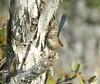 Malurus lamberti 6 (barryaceae) Tags: sandbar caravan park smiths lake new south wales australia australianbird birds bird aves australianbirds ausbirds ausbird myall lakes national nsw variegated fairywren malurus lamberti