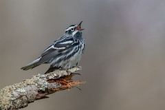 black and white warbler (Joe Branco) Tags: nikon600mmf4vr branco joe summer spring photoshopcc2018 nature joebrancophotography nikond850 ontario canada wildlifephotography nikon blackandwhitewarbler green