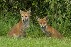 FOXES (_jypictures) Tags: animalphotography animals animal canon7d canon canonphotography wildlife wildlifephotography wiltshire nature naturephotography photography pictures foxes fox ukwildlife
