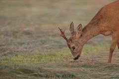 chevreuil (photopierrot44) Tags: chevreuil chevrette animaux sauvage nikon nature champs près extérieur animal brocard
